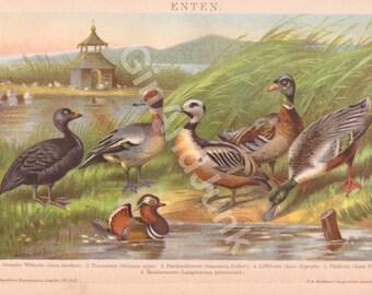 ANTIQUE DUCK PRINT, Duck Print, Duck Plate, Duck Lithograph, Ducks, Ducklings, Ducks Print, Ducks Plate, Ducks Lithograph, Vintage Duck