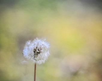 Dandelion, Canvas Photo Wrap