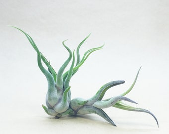 Tillandsia Caput Medusae Air Plant (small) // Hello Tilly Airplant