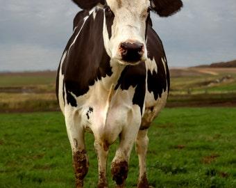 Birdie  Happy Cow Portrait