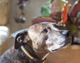 Gold Leather Dog Collar, English Bridle Leather painted Gold