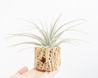 Cholla Cactus Wood, Tillandsia Display / Planter