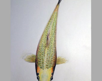 Drawing of a fish (carp) - original