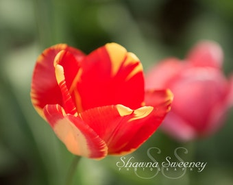 Red and Yellow Spring Tulips