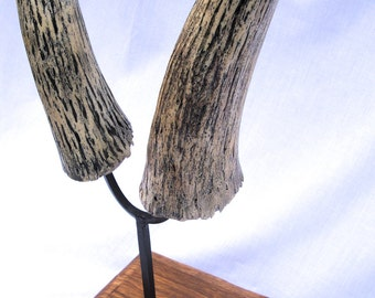 Taxidermy hunting of antelope horns decorating trophy