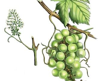 Grape - Botanical Illustration