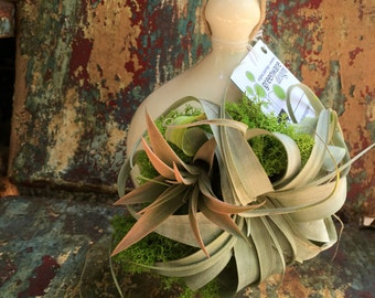 Hanging Buttercream Ceramic Pod with Airplants and Moss