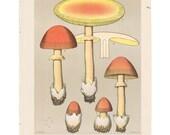 Antique 1895 mushroom print by CHARLES PECK, Plate 15, botanical, fungi, vintage chromolithograh print