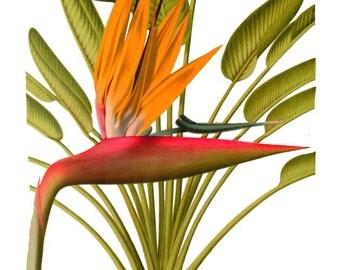 antique french botanical print bird of paradise flower illustration digital download