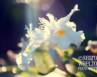 White Iris Photograph - Nature Photography - Sunny Wall Art - Floral Spring Home Decor - Metallic Fine Art Photo Print
