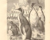 1879 New Zealand Giant Penguin - Pachydyptes ponderosus Original Antique Engraving