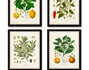 Vintage Fruit Print Set No. 20, Kohler Fruit Prints, Botanical Prints, Vintage Botanical Art, Lemon Print, Olive, Giclee, Art, Kitchen Art