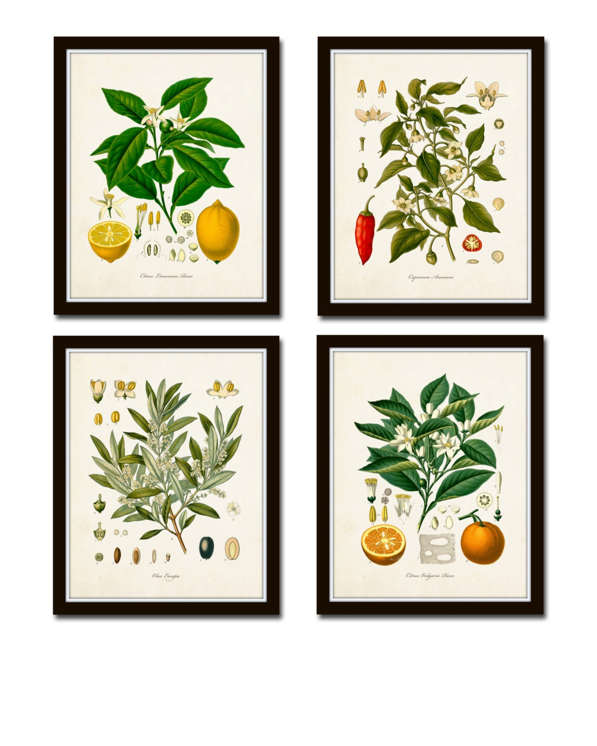 Kitchen Art Vegetables Print Botanicals Kitchen Art: Vintage Fruit Print Set No. 20 Kohler Fruit Prints Botanical