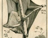 RESERVED 1800s Vintage Print Le  Galéopithèque Roux, Flying Lemur, Buffon