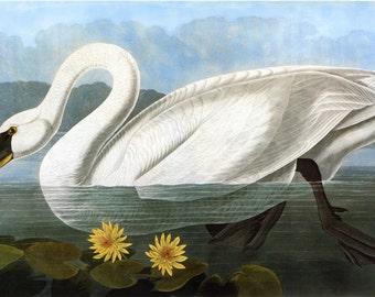 John James Audubon Reproductions - Birds of America, Whistling Swan [Common American Swan], 1827-1835. Fine Art Print.