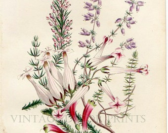 Antique Heather Botanical Print from The Romance of Nature 1836 Showing The Common Heather. Beautiful Original Hand Colored Print