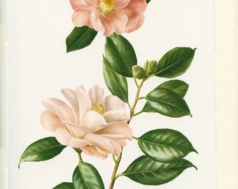 1972 Vintage Camelia Williamsii poster/ Vintage botanical art/ Botanical decor Camelia print Vintage botanical poster French country decor