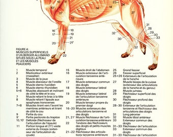 Dog Gift 1975 Anatomy poster Vintage Dog muscles poster Canine Anatomy art Gift for veterinarian office decor