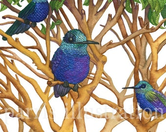 Violet Bellied Hummingbird, Archival Print of Original Watercolor, you choose size