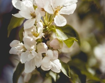 Nature Photography | White Blossoms, Flowers, Hanami Season, Sprintime | Wall Art Print