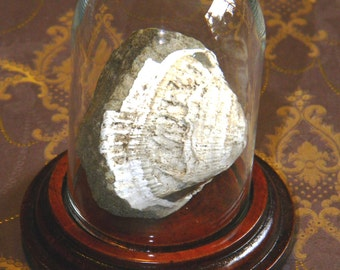 Very Nice Fossil Bivalve in Bell Jar Display Dome - Both Halves Present Still Joined with Matrix in Center - Natural Fossil No Repairs