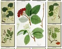 LEAVES GRASS-25 Collection of 223 vintage pictures Rowan viburnum elm hazel High resolution digital download printable plant 300 dpi instant