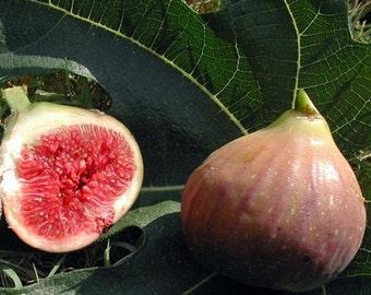 """Violet De Bordeaux Negronne Edible Fig Plant - Ficus carica - Sweet - 4"""" Pot"""