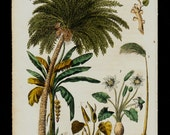 1823 Antique print of Palm Osiris, African botanical flora, palam tree,  fine hand colored engraving 193 years old