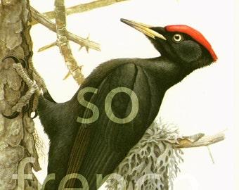 1961 Black Woodpecker Dryocopus martius, vintage Bird Print, Ornithology, Natural history, nature wall art