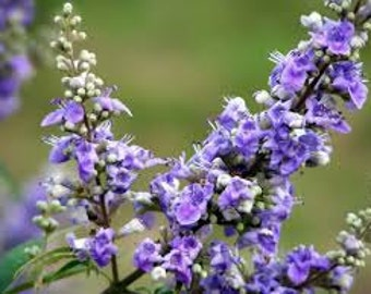 Chaste Tree Seeds, Organic, Vitex Agnus-Castus, Chasteberry, Medicinal Herb, Tree, Used for Bonsai Specimen