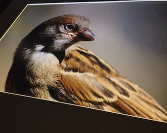 """Wistful Sparrow - 15"""" x 10"""" Print"""