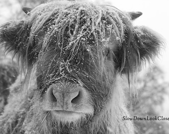 Highland Cow in the snow, Black and White A4 Print in a 12in x 16in Antique White Mount