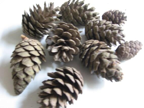Pine cones small 300g minimum 10 cones for craft decoration for Small pine cone crafts