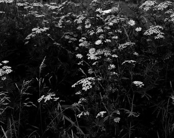 Black and White Flower Photography, Wildflowers, Wisconsin Nature Beauty
