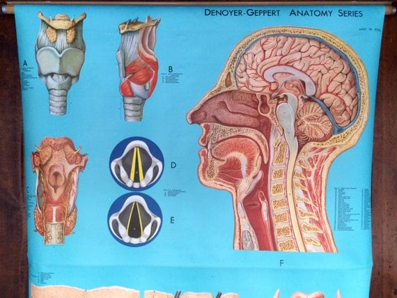 Anatomy of your throat
