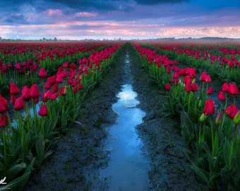 The Smell of Rain, tulips, tulip festival, flowers, rainbow, skagit valley, washington, spring, sunset, tulip, pacific northwest, landscape