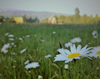 Daisy in a field - photo