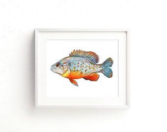 Orange Spotted Sunfish Watercolor Fine Art Print