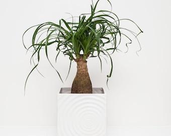Ponytail Palm (Beaucarnea Recurvata) Houseplant