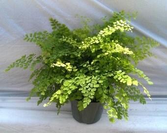 Maiden Hair Fern Plant in 6 inch pot - Adiantum