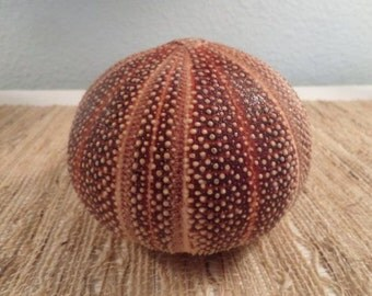 "English Channel Sea Urchin Shell- Coastal Beach Decor,Nautical Display, Beach Decor, 4 - 5"" Sea Urchin, Large to Extra Large"