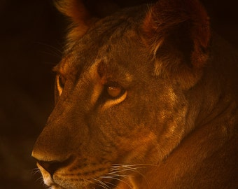 Lion Print, Lion Photo, Cat Print, Cat Photo, Nature Print, Nature Photography, Cat Art, Wild Cat, African Print, Africa Photo, Feline