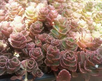 Set of 5 Rosette Cuttings Sedum Spurium Blood Dragon Stonecrop Perfect for fairy garden miniature landscape - Exotic Succulent Plant