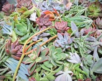 3/5/10/15/20 Assorted Succulent Cuttings Rare Echeveria Kalanchoe Sedum Graptosedum etc... Over 45 Varieties - Exotic Succulent Plant