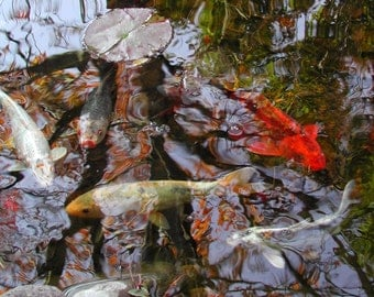 Koi fish with autumn reflections