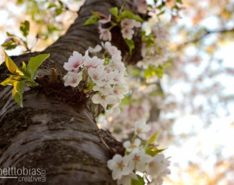 Cherry Blossom Festival Photography Nature Photography Cherry Blossom Washington DC Art Wall Decor Flower Photography Fine Art Photography
