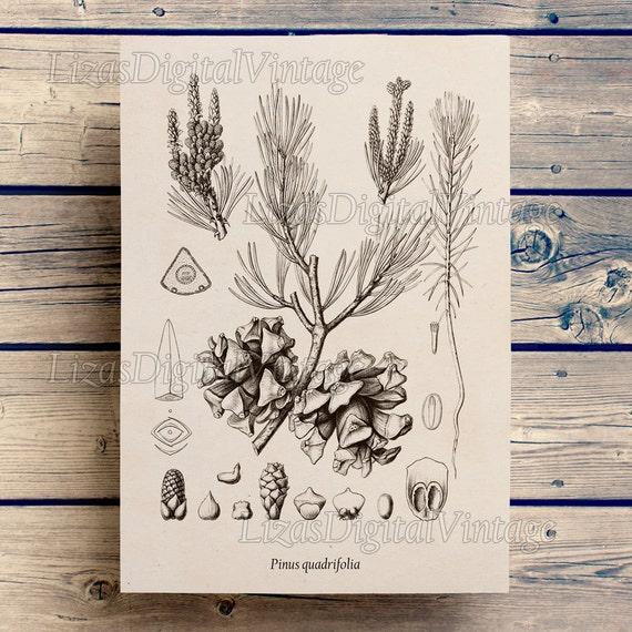 Pine, Tree art, Large wall art, Antique Vintage, Pine print, Botanicals, Prints and posters, Antique tree print, Download printable JPG PNG