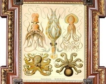 Octopus, Squid, Gamochonia Ernst Haeckel Illustration Archival Quality Print Art Forms In Nature Kunst-Formen der Natur B080