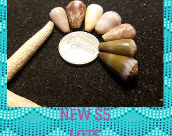 Hawaiian cone shell lot