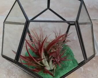Hexagon Glass Terrarium / Tillandsia / Red Abdita / Small Ionanthas / Hand Made Home Decor / Living Art